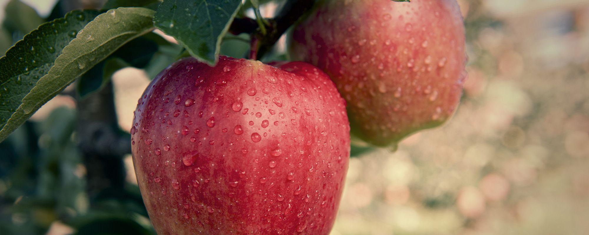 Apples bc tree fruits cooperative apples voltagebd Gallery
