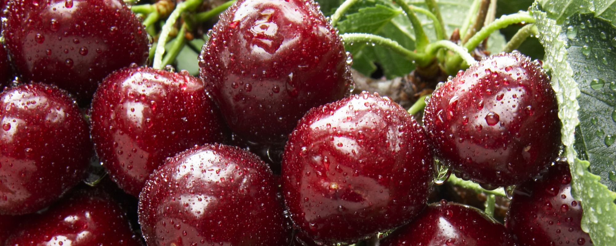 BC Tree Fruits Cooperative Anticipating Record Cherry Volumes for 2018